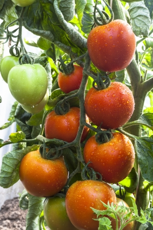Bunch of red tomato with rain drops on a plant with green leafes around  Stock Photo