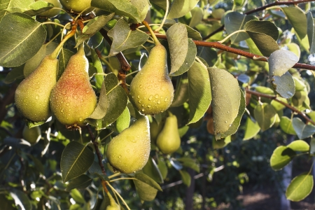 bunch of green pears hanging on a branch with leves Stock fotó