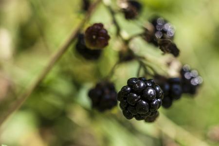 vibrant background: Wild Blackberry macro closeup with vibrant background Stock Photo