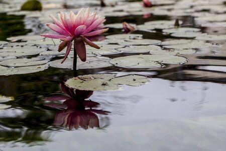 big leafs: Beautiful pink water blily with big leafs