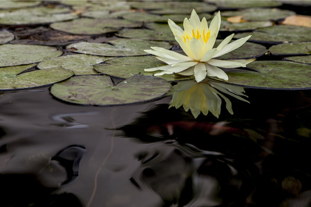 big leafs: Beautiful white water lily with big leafs Stock Photo