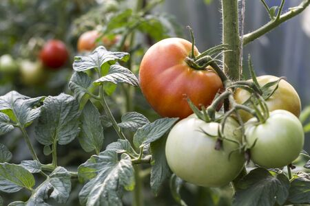 Beautiful image of a garden of tomatoes