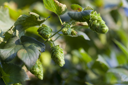 Hop plant close up growing on a Hop farm. Fresh and Ripe Hops ready for harvesting. Beer production ingredient. Brewing concept. Fresh Hop over blurred nature green background .