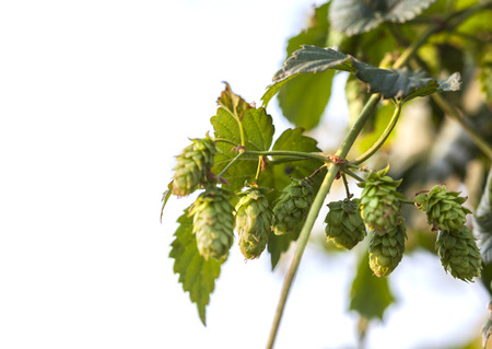 Hop plant close up growing on a Hop farm. Fresh and Ripe Hops ready for harvesting. Beer production ingredient. Brewing concept. Fresh Hop over blurred nature green background and isolated on white. Stock Photo