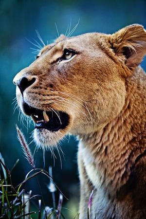 lioness: Beautiful Lioness