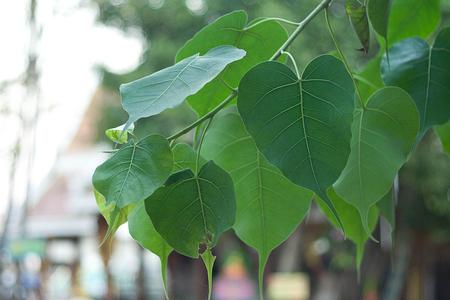 pipal: Bo leaf Stock Photo