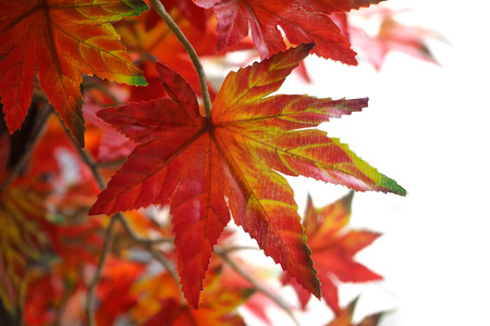 bunchy: bouquet artificial maple , Vivid color leave are orange on White background. Stock Photo