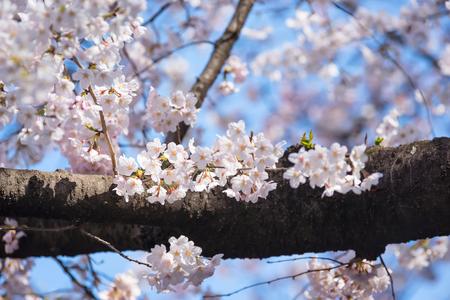 kuril: full bloom of Cherry blossoms or sakura in japan Stock Photo