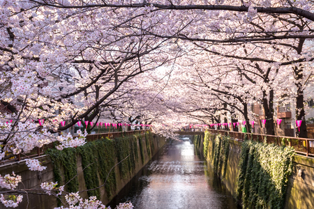 Cherry blossom lined Meguro Canal in Tokyo, Japan.
