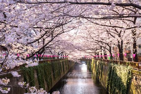 Los cerezos en flor forrado Canal Meguro en Tokio, Japón.
