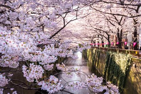 메구로 강 벚꽃 스톡 콘텐츠