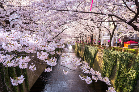sakura or cherry blossoms at Meguro river 新聞圖片