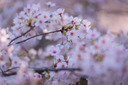 kuril: sukura or cherry blossom tree in spring with pink flowers