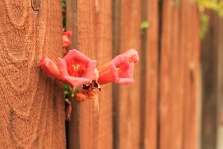 thru: Red Flower thru Fence