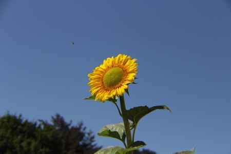 bee on flower: Bee heading to sun flower