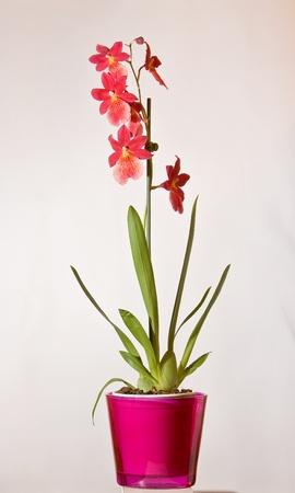 Red orquídeas silvestres en macetas Foto de archivo - 12129833