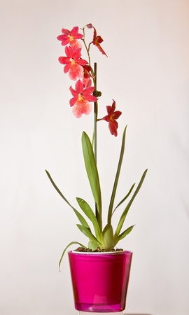 Red wild orchids in pots photo