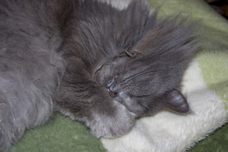 Grey fluffy cat sleeps on a blanket Stock Photo - 12404544