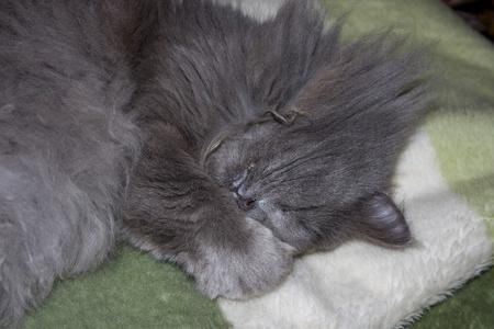 Grey fluffy cat sleeps on a blanket