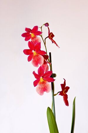 Red wild orchids. Close up