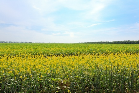 large field with yellow flowers  trees on the horizon Stock Photo - 12813531