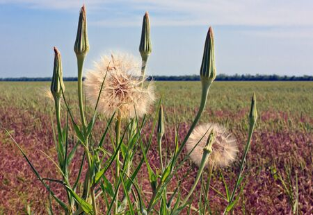 dandelion flower against the blue sky and brown field  some buds Stock Photo - 12813528