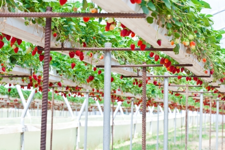 crop harvesting: Strawberry garden  Strawberry growing in the greenhouse