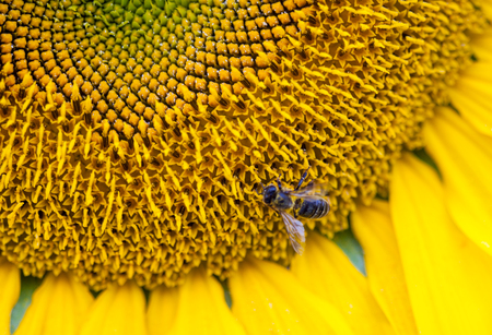 nectar: bee is collecting nectar on the sunflower
