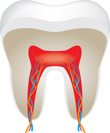 cross section of tooth