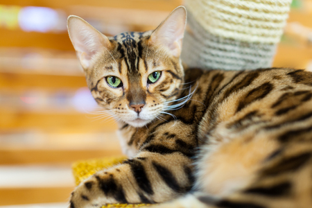 Portrait of a gold Bengal cat