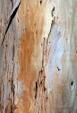 Photo of eucalyptus tree bark texture Stok Fotoğraf