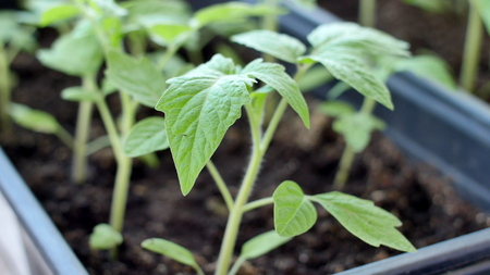 Green tomato seedings in greenhouse are ready for planting Stock Photo