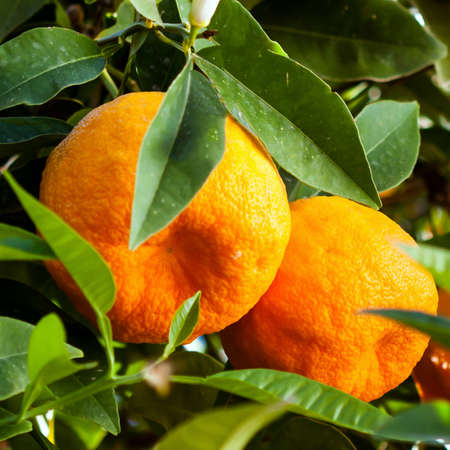 Ripe juicy orange mandarins on a tree in the mandarin orchard.