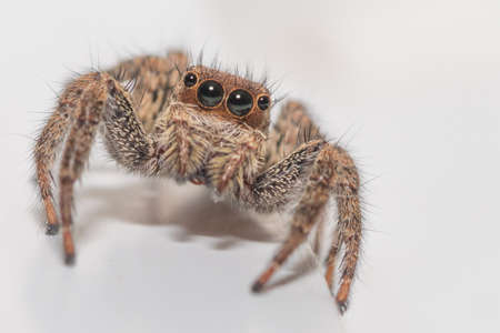 Isolated macro of an adult jumping spider