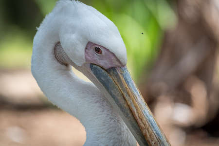 Isolated close up portrait of White Pelican bird- Israel