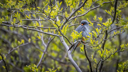Isolated close up of a single beautiful mature male red footed falcon camouflaged in a tree- Danube Delta Romania