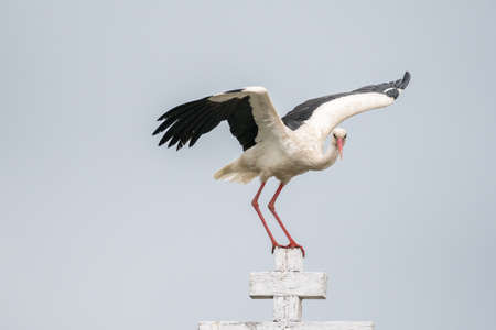 Close up of an isolated white stork bird in the wild- Romania