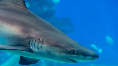 Isolated young rief shark- Red sea Israel