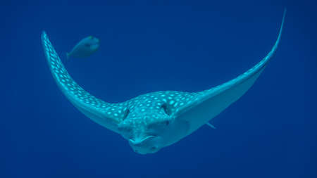 Isolated White spotted eagle ray fish- Red Sea Israel