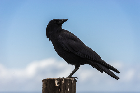 A crow perched on a wooden pole next to the Pacific Ocean in Big Sur, California, USA.
