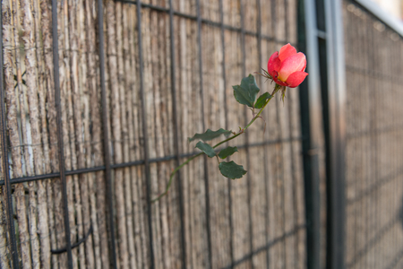 A rose grows through a rafiade cloth on a gate in a peripheral area of Caceres, Extremadura, Spain.