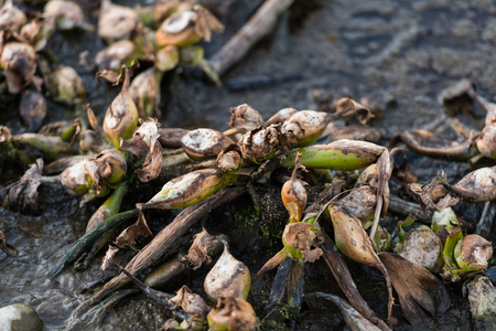 Dead remains of common water hyacinth, camalote, in the Guadiana river on its way through Medellin