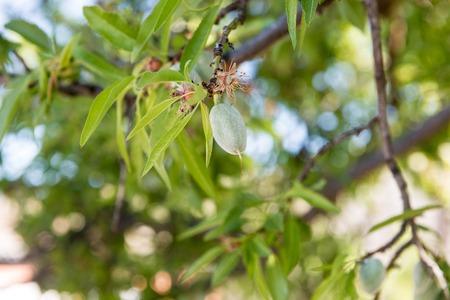 Details of almonds still green in an almond tree near Garrovillas de Alconetar 版權商用圖片