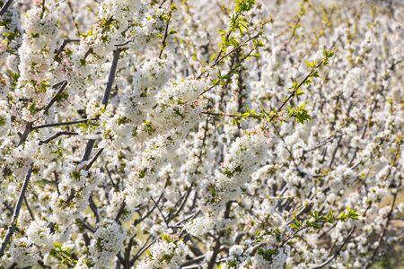 Detail of white cherry blossoms in Valdastilla, Valle del Jerte.