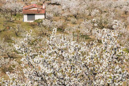 White hillsides motivated by the color of cherry blossoms in Valdastilla, Valle del Jerte