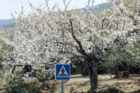 Detail of white cherry blossoms in Valdastilla, Valle del Jerte Reklamní fotografie
