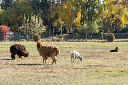 Alpacas full of wool and goats grazing near Terrebonne, Oregon, United States