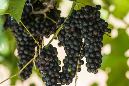 Some bunches of red grapes in espalier vines in Rias Baixas, Pontevedra, Galicia, Spain.
