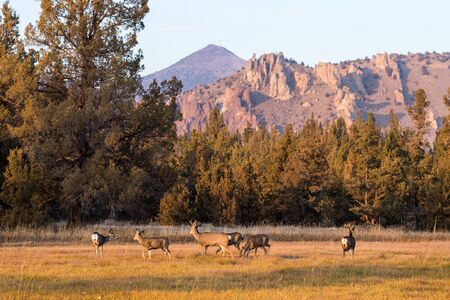 A group of deer graze and rest at sunset with the cliffs of Smith Rock State Park in the background