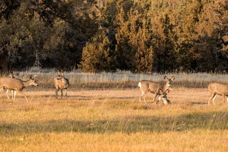 A group of deer graze and rest at sunset near Smith Rock State Park